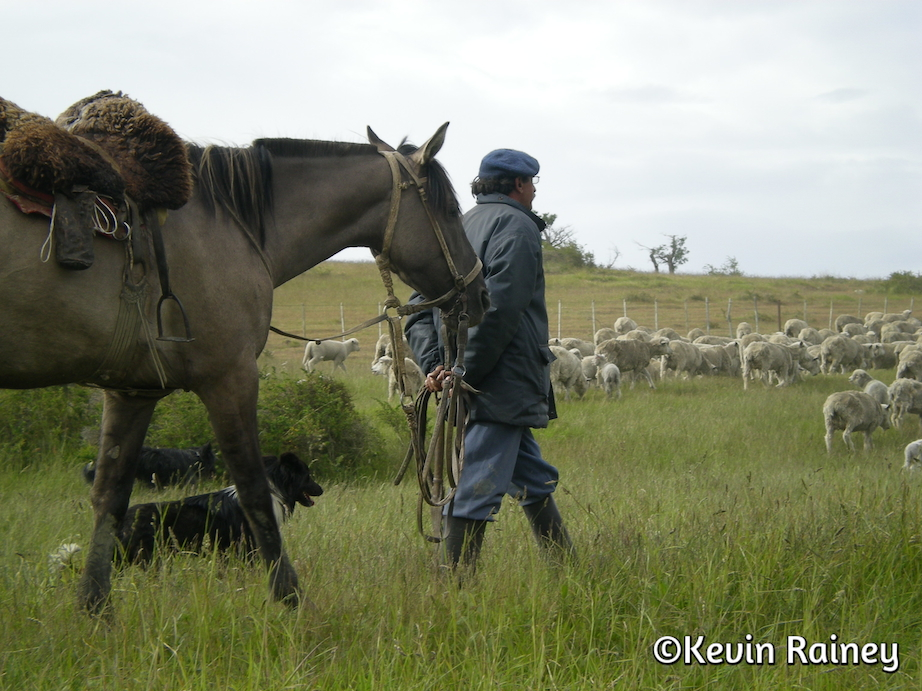 Sheep herder near Torres del Paine