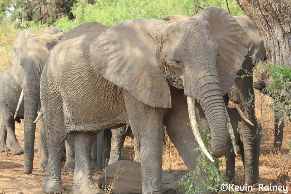 Elephant herd near Lake Manyara